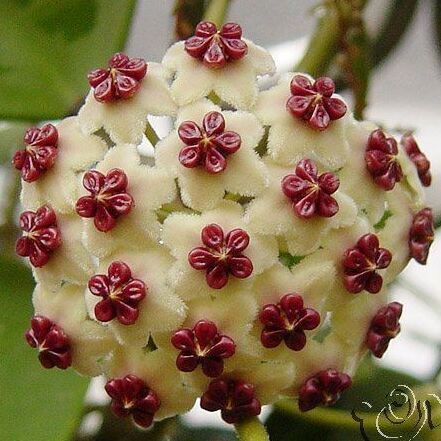 hoya seeds, potted seed, carnosa flower seed Garden plants, perennial planting - 100 seeds indoor plants Magic 99 store