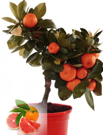 20pc BLOOD Orange seeds Lovely Fruit seeds DIY Home Garden Backyard Balcony HEIRLOOM Bonsai Seed(China (Mainland))