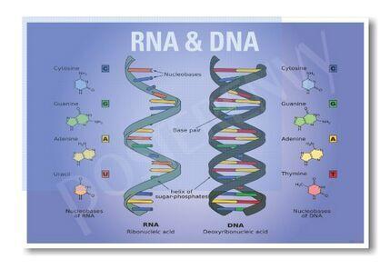 Adn arn biología nueva aula biología Poster etiqueta de la pared ( 50 cm X 75 cm ) educación envío gratis(China (Mainland))