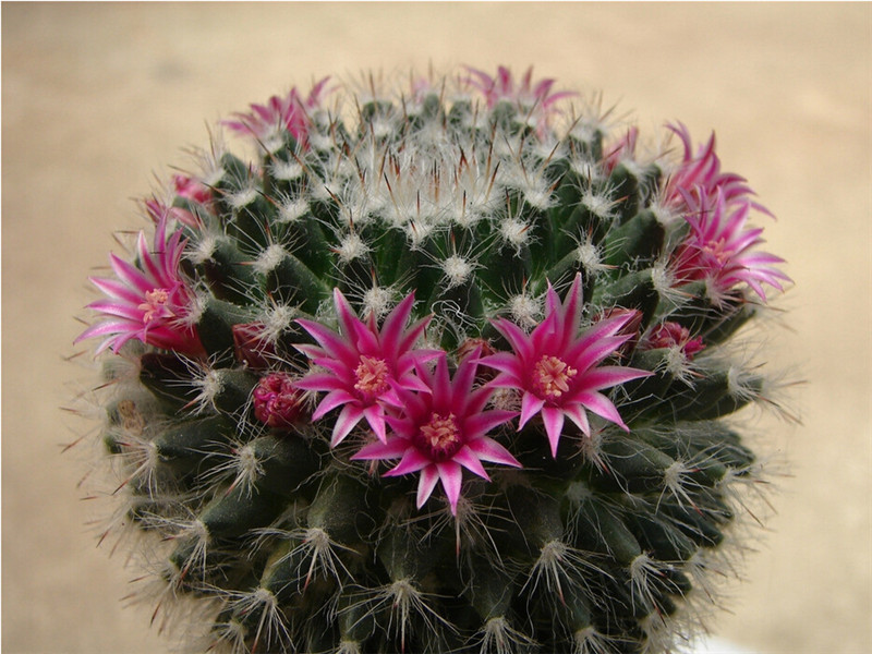 Mixture Of Cactus Seeds Echinopsis Flower Seeds High Germination 10 Seed particles