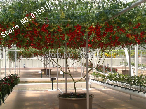 Гаджет  Vegetable Seeds 50pcs Italian Tree Tomato *RARE HEIRLOOM!!* SEEDS OF LIFE TOMATO GIANT TREE Free Shipping None Дом и Сад