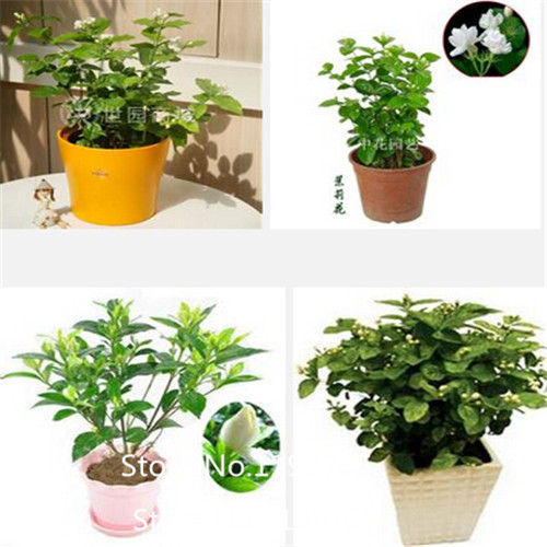 2016 Hot 50seeds/bag Jasmine seeds indoor plants perennial flower seeds(China (Mainland))
