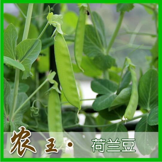 2016 new free ship Large pod peas pea seed 10 seeds Green vegetables seeds(China (Mainland))