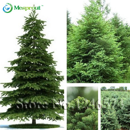 50 seeds /bag Home Garden Plant Spruce seed Chinese Tree Bonsai Seeds, green tree seeds DIY home garden(China (Mainland))