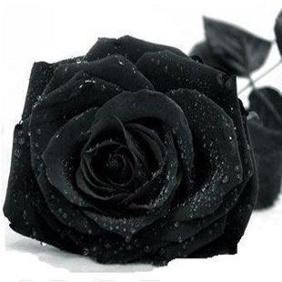 Rose seeds black rainbow rose seeds rare Amazingly Beautiful Black Rose Flower - 200 pcs 14 kind mixed seeds(China (Mainland))