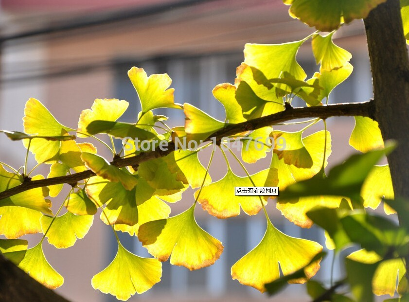 Free shipping Chinese ginkgo biloba green tea to drink with hot boiled eight minutes later food