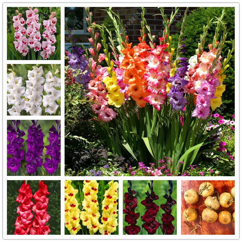 online kaufen gro handel gladiolen blumenzwiebeln aus. Black Bedroom Furniture Sets. Home Design Ideas