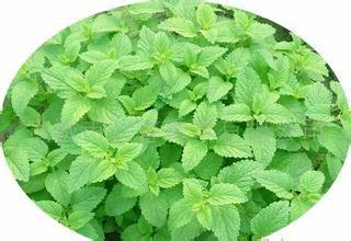 1000g plant extract powder Melissa Officinalis extract monarda extract Horsemint extract