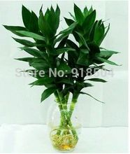 2015 50pcs Rare Bamboo seeds Tree Seeds Free shipping