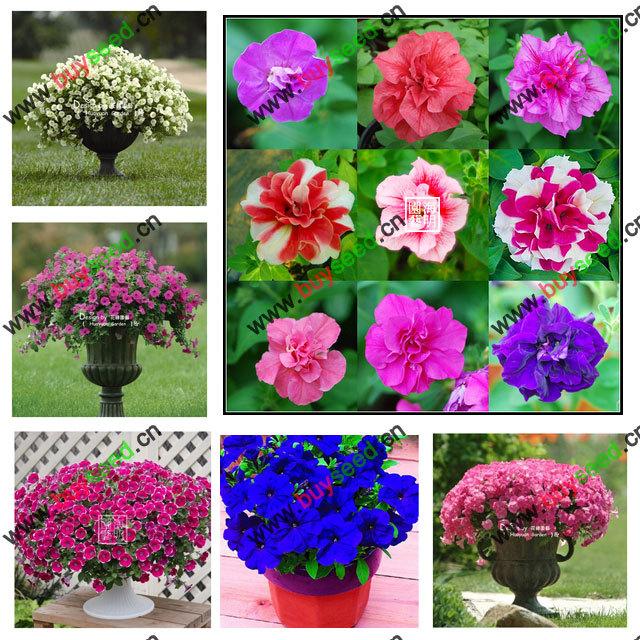 free shipping Seeds petunia petals seeds morning glory seeds -200 pcs(China (Mainland))