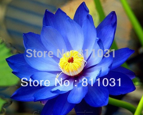 Hot selling 20pcs Blue Moon Lotus Flower Seeds Gorgeous Aquatic Plant DIY home garden free shipping(China (Mainland))