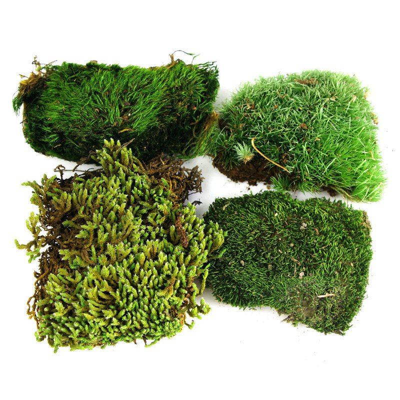 1 Pack 100% Pure Natural Moss Potted Ornamental Forest Carpet Decoration DIY Leucobryum White / Wool /Stars Moss 16.5x10x4cm