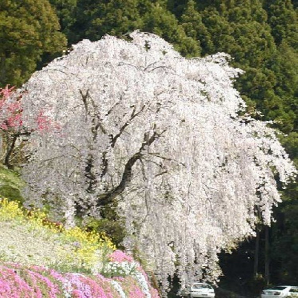 White fountain weeping cherry tree seeds,DIY Home Garden Dwarf Tree,Beautiful and elegant flower seeds garden plant - 10pcs/lot(China (Mainland))