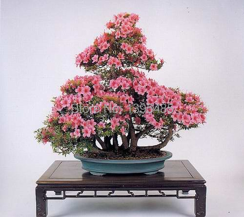 ORIGINAL PACKS HEIRLOOM SEEDS CRAPE MYRTLE * BONSAI FLOWER SEEDS(China (Mainland))