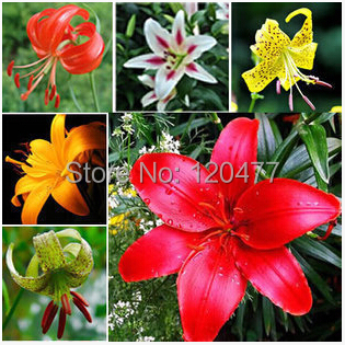 Free shipping Cheap Perfume lily seeds, Mixing different varieties 50pcs Yellow White Red Pink Purple Lily Flower Garden Plant(China (Mainland))