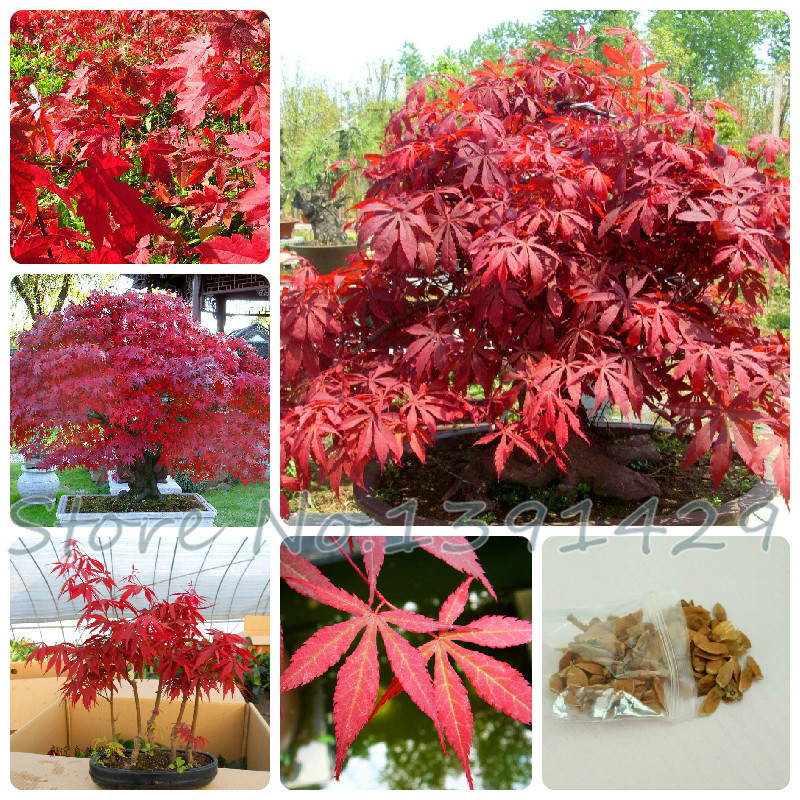 Promotion! 20pcs Toronto Maple leafs seeds Fire Maple Tree Seeds Red Maple Mini Bonsai Plants DIY Home Garden Free shipping .(China (Mainland))