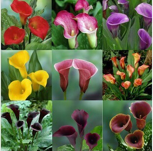 Calla lily, calla lily flowers , calla lily bulbs - 1 bulbs(China (Mainland))