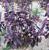 3 Packs Of Purple Basil Seed / 1 Pack 50 Seeds Ocimun Basilicum Leaf Basil Aromatic Plants Seed D015