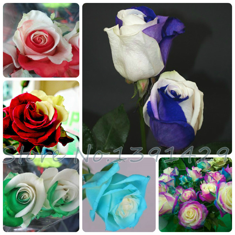 10+pcs / bag Rose seeds flower Rainbow Rose seeds plant bonsai flower pot planters-- Only 0.06 dollar(China (Mainland))
