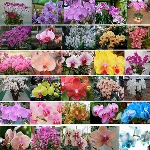 Гаджет  free shipping Flower seeds orchid seeds cattleya multicolor butterfly orchid bonsai monoflord seed   - 100 pcs None Дом и Сад
