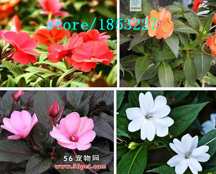 Garden Balsam Camellia Impatiens seeds Potted Flower Seeds-Multicolor Impatiens About 100 particles / 1 Professional Pack(China (Mainland))