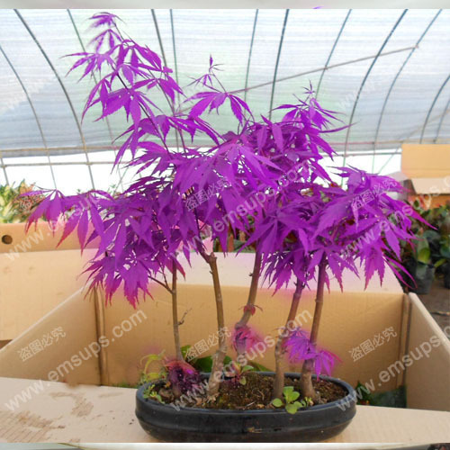 "30 PCS Purple Maple Seeds Rare in The World Canada is a Beautiful Purple Maple Bonsai Plants Trees ""Purple Ghost""(China (Mainland))"