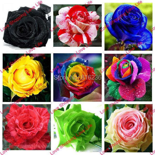 rose seeds red orange blue green purple black gray white yellow rose flower 50 seeds bag