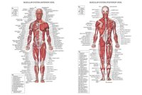 """01 Human Body Anatomical Chart Muscular System 36""""x24"""" Wall Poster"""