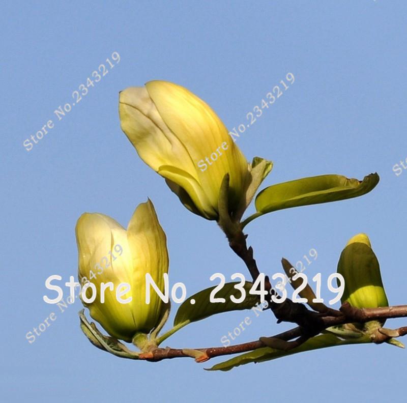 Magnolia amarillo compra lotes baratos de magnolia - Semilla de magnolia ...