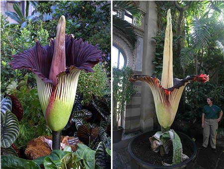 "5 seeds Corpse flower,the Titan arum is also known as the""Corpse flower""or""Corpse plant"" biggest flower in the world for garden(China (Mainland))"