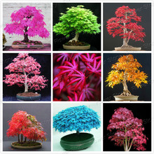 Rare Blue Maple Seeds Bonsai Tree Plants Pot Suit for DIY Home Garden Japanese Maple Seeds 20 Pcs / Kinds  Free Shipping(China (Mainland))