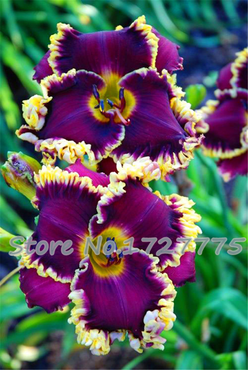 Flower seeds,100 PC lily seed, 25 varieties bonsai French perfume lily seed, courtyard beautiful plants(China (Mainland))