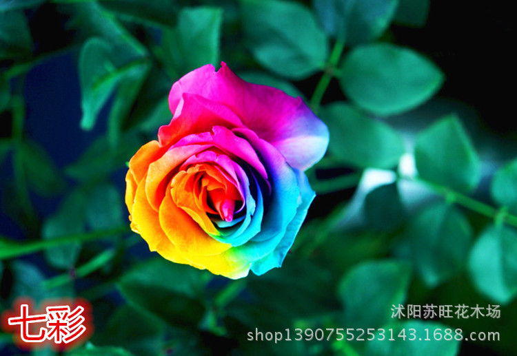 Mix minimum order 5 seeds rare holland rainbow rose for Buy rainbow rose seeds