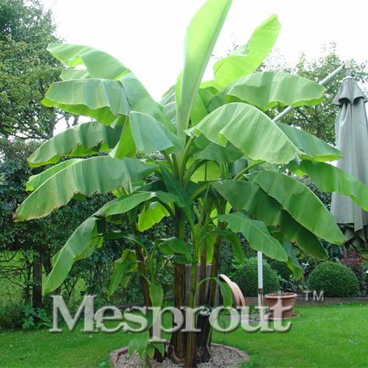 bananier arbre achetez des lots petit prix bananier arbre en provenance de fournisseurs. Black Bedroom Furniture Sets. Home Design Ideas