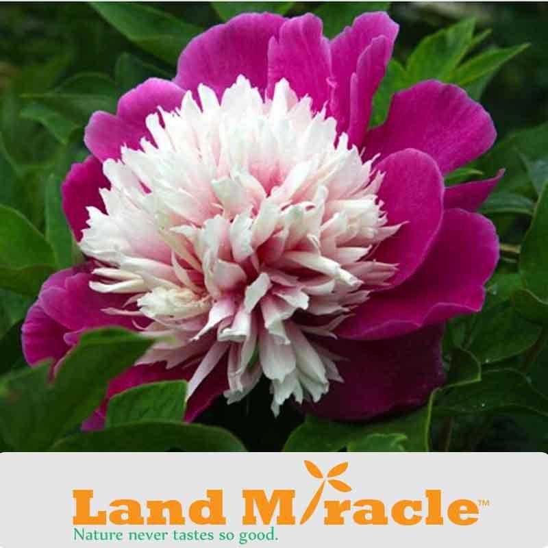 "Paeonia Lactiflora ""Bowl Of Beauty"" Peony Seeds, 5 Seeds/ pack, Bonsai Blooming Plants Anemone Flowered Peony Flower(China (Mainland))"