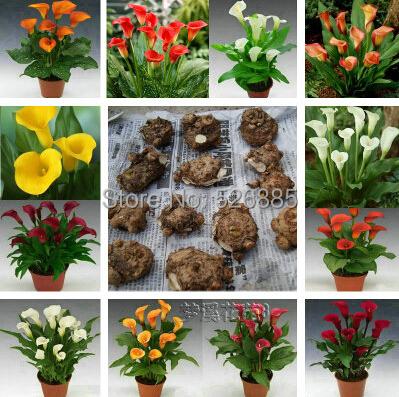 Calla lily bulbs calla lily bonsai a variety of color - 5 ball(China (Mainland))