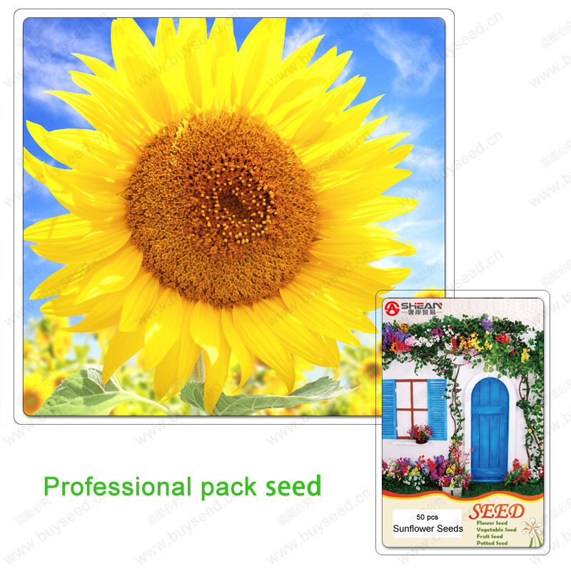 Helianthus Annuus Seeds Dwarf Sunflower Seeds Sunflower Seeds Potted Plants Balcony of a Professional Pack of about 50 particles(China (Mainland))