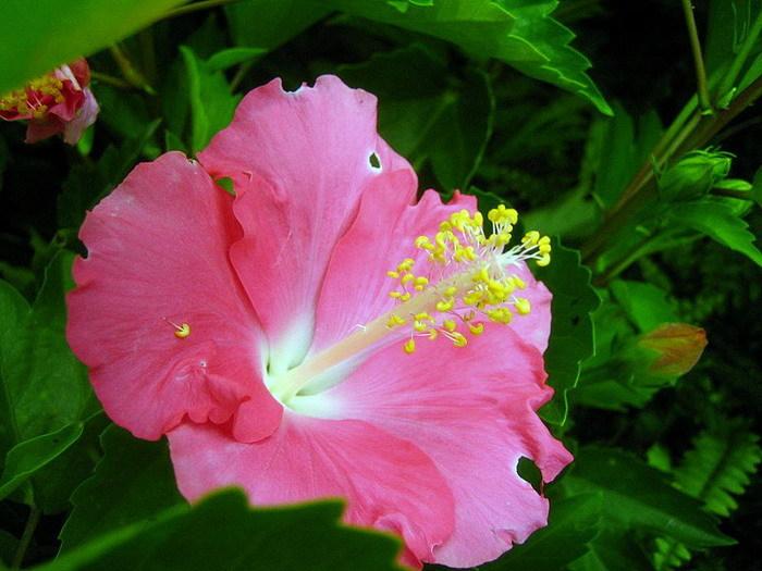 achetez en gros hibiscus vari t s en ligne des grossistes hibiscus vari t s chinois. Black Bedroom Furniture Sets. Home Design Ideas