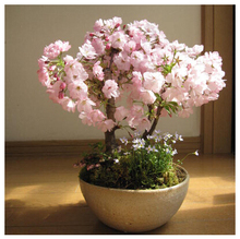 Japanese sakura seeds ,bonsai flower Cherry Blossoms Tree,10pcs/lot