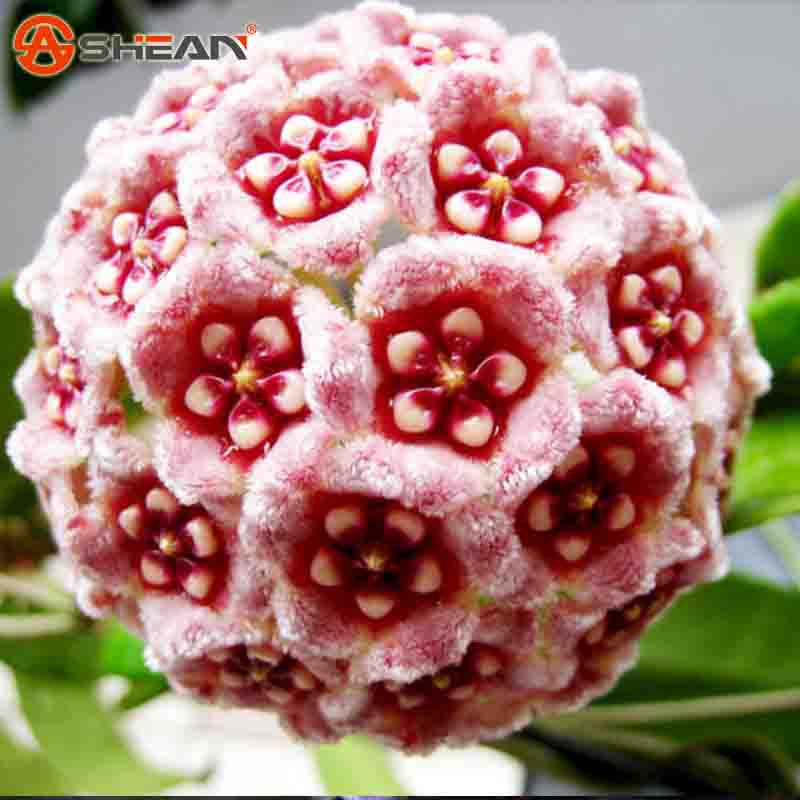 21 Color Available Rare Ball Orchid Flower Seeds Perennial Garden Plant Hoya Carnosa Flower Seeds 100 Pieces / lot(China (Mainland))