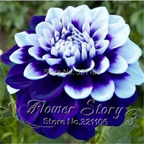 100 Tomo Pilot Dahlia flower seeds,beautiful flower and easy to grow, Free Shipping(China (Mainland))