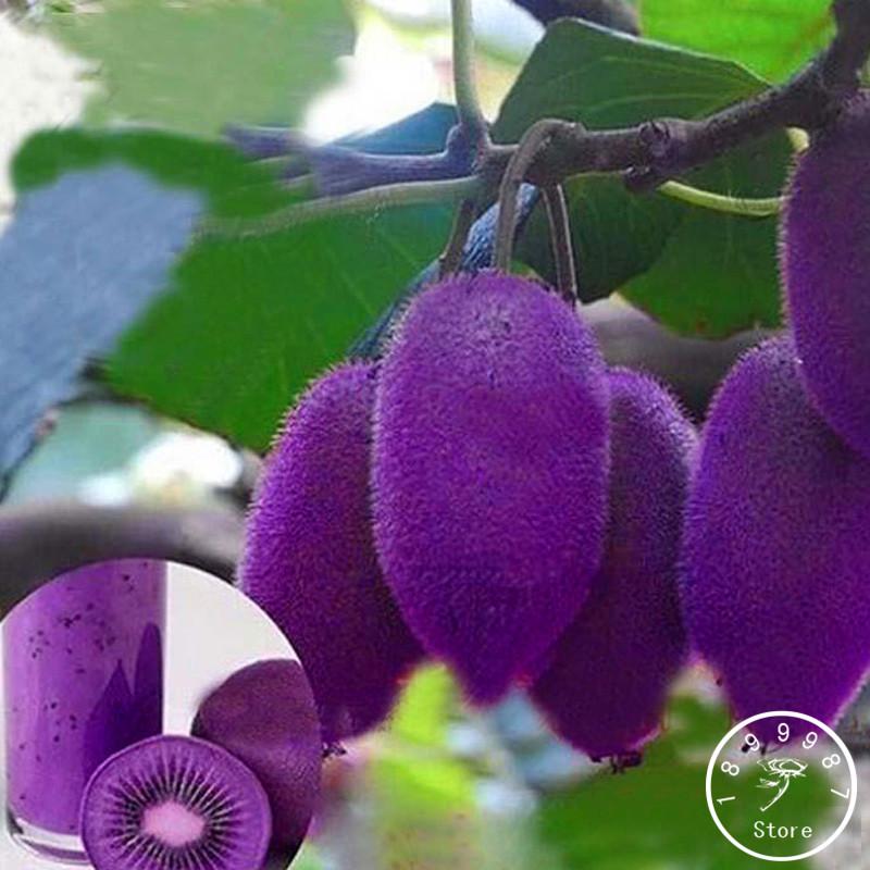 Ingrosso di alta qualit viola albero fiori da grossisti for Kiwi albero