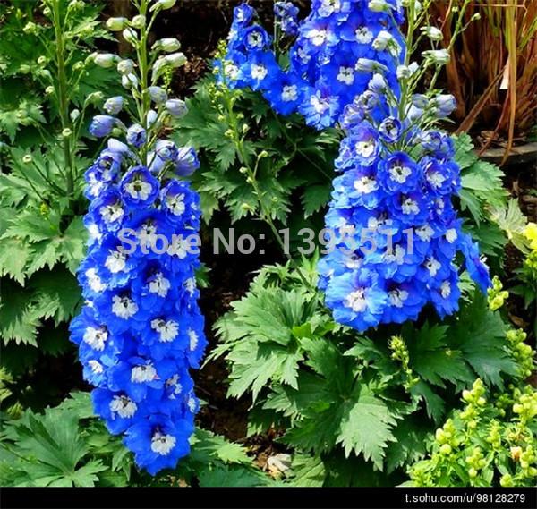100 rare Flowers Smurfs larkspur, Smurfs larkspur seeds, Flowers seeds(China (Mainland))