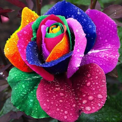 (Mix minimum order $5) 100 pcs Seeds Rare Holland Rainbow Rose,Flower Home Garden rare rainbow rose flower seeds Free shipping(China (Mainland))