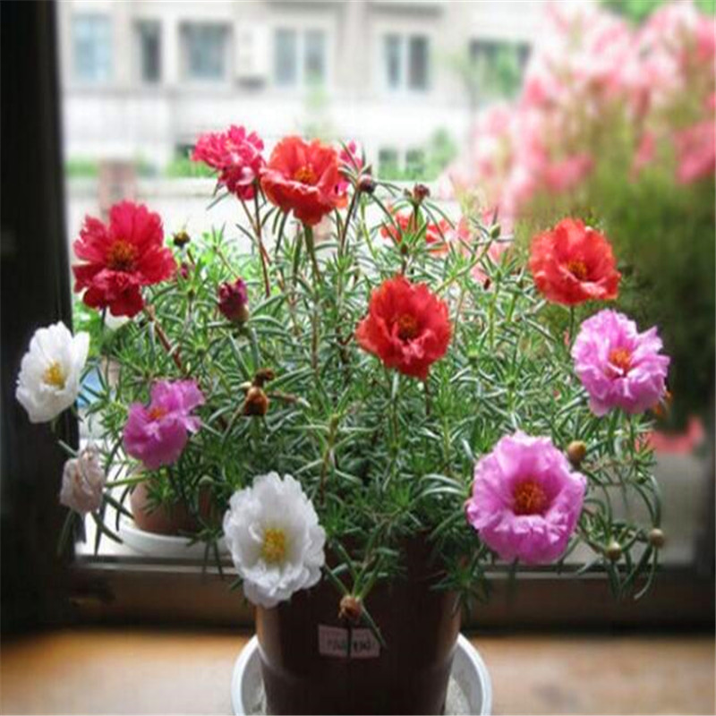 New 100 Seeds Home Garden Mixed Mexican-rose Sun Plant Portulaca Moss Rose Portulaca Grandiflora Flower Seeds Free Shipping(China (Mainland))