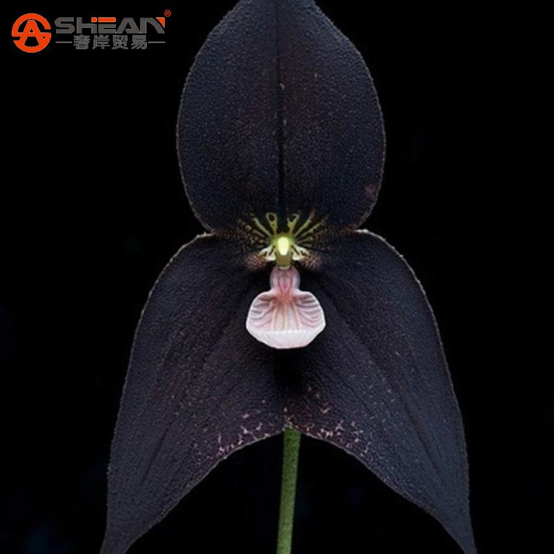 online kaufen gro handel affe orchidee aus china affe. Black Bedroom Furniture Sets. Home Design Ideas