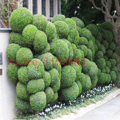 JUNIPER BALL bonsai tree Seeds tree outdoor bonsai for home garden