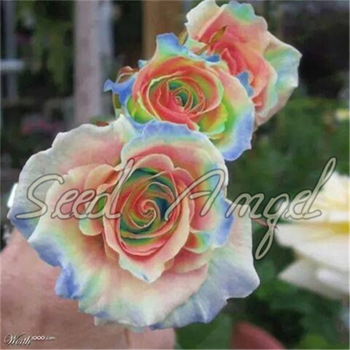 Rosa,Climbing Plants , Polyantha rose, Chinese Flower Seeds ,Climbing Roses Seeds , 200 pcs/bag(China (Mainland))