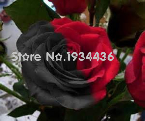 Hot Sale 20+pcs/bag Genuine Rose Seeds World Rare Varieties Bonsai Flower Seeds for Garden Free Shipping + Mystery Gift(China (Mainland))