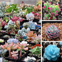 200/bag  Mix Succulent seeds lotus Lithops Pseudotruncatella Bonsai plants Seeds for home & garden Flower pots planters(China (Mainland))
